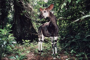 IUCN red list: Male Okapi, Epulu Ituri Rainforest Reserve, Democratic Republic of Congo