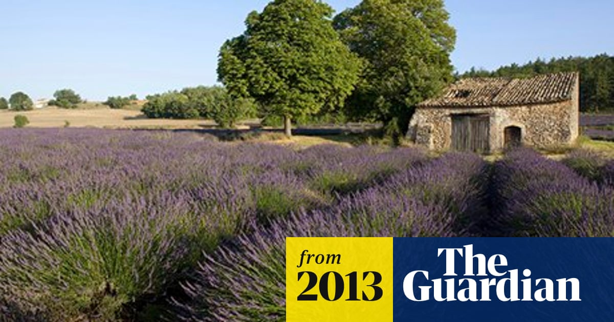 Cicadas could destroy Provence's lavender fields in 20 years