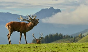 A rutting stag bellows in a wildlife park