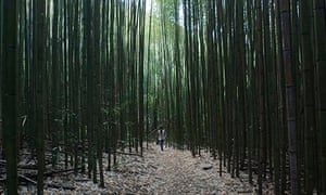 A Taiya aboriginal villager walks through a sustainable bamboo forest