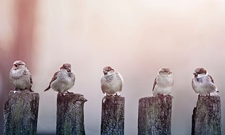 sparrows in a row on wooden fence