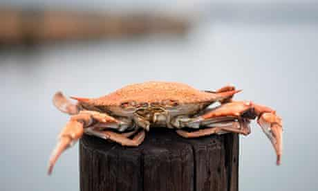 Steamed crabs , Chesapeake Bay Maryland