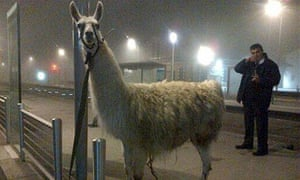 Serge the llama rides tram after being 'abducted' by revellers in