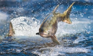 A salmon makes its way up a salmon ladder at a hatchery in California signalilng the start of the spawning season.