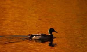 A duck paddles on Loch Faskally, as autumn leaves are reflected in the water by the morning sun.