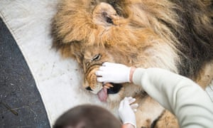 Long in the tooth: Seventeen-year-old lion Elek, the oldest male lion of Nyiregyhaza Zoo, undergoes a general medical examination in Hungary. The life span of lions in the wild is eight years on the average, so Elek is highly esteemed in the zoo for his age.