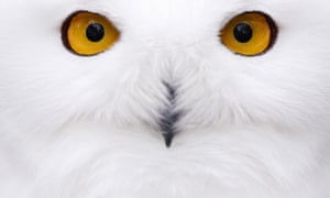 A snowy owl sits in its compound at the zoological garden in Hof, Germany.