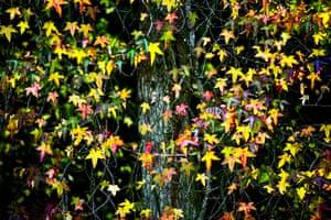 Autumn colours: Maple leaves