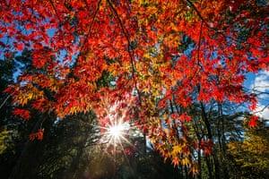 Autumn colours: Sunlight illuminates maple leaves