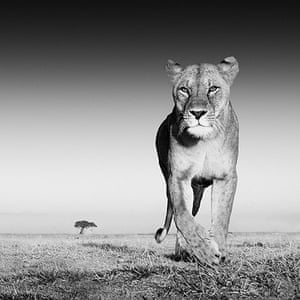 David Yarrow Encounter: Lioness