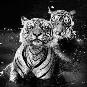 David Yarrow Encounter: Bengal tigers