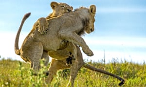The boisterous lion cubs on the plains of Kariega Game Reserve, South Africa.