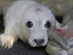 Seal pups who were recently orphaned by the  floods in Norfolk have been taken in by the East Winch Wildlife Centre in Norfolk. The Centre is at full capacity after taking in the young pups, many less than three weeks old, which were washed up after a tidal surge hit the east coast. Each pup is expected to require up to five months' rehabilitation after being separated from its mother.