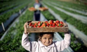 A Palestinian child helps farmers harvest strawberries from a field in Beit Lahia, in the northern Gaza Strip.