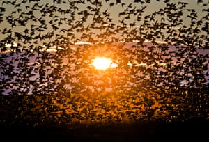 A large flock of starlings fly illuminated by the setting sun near Bacau, north eastern Romania. Large numbers of starlings populate the vast cereal growing agricultural lands in eastern Romania, feeding on the seeds already laid in the ground.