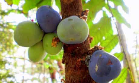 Davidson plums