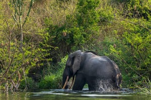WWF Virunga Campaign: A bull elephant bathing and drinking water in Ishango