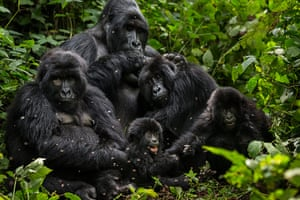 WWF Virunga Campaign: Bageni family in the gorilla sector