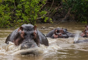 WWF Virunga Campaign: Recovering hippo populations close to the ICCN Ranger station at Lulimibi