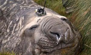 Southern Ocean elephant seal wearing a sensor on its head