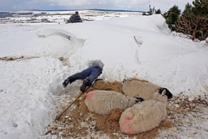 Extreme weather: Farmer Donald O'Reilly searches for sheep or lambs trapped in a snow
