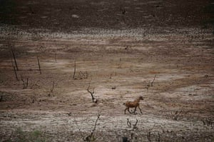 Extreme weather: A goat runs across the dry lakebed of the Cocorobo Dam, Canudos