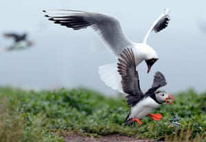 Funny animals gallery: A puffin drops its lunch