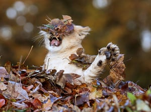 Funny animals gallery: Lion cub plays in autumn leaves