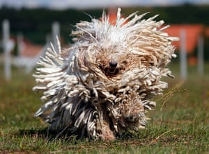 Funny animals gallery: A Komondor shakes its long fur in Bodony