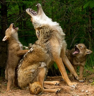 Funny animals gallery: A coyote teaches its pups to howl in Hinckley, Minnesota