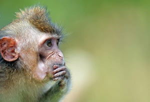 Funny animals gallery: A long-tailed macaque pauses at River Safari in Singapore