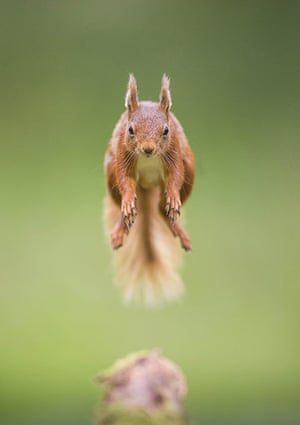 Funny animals gallery: A red squirrel leaps between trees
