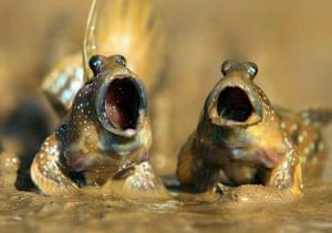 Funny animals gallery: Mudskippers indulge in their own frog chorus in Krabi
