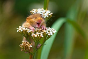 Funny animals gallery: A dormouse sees the funny side in Italy