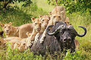 TPOTY: Lionesses hunting, chief's island, Okavango Delta, Botswana