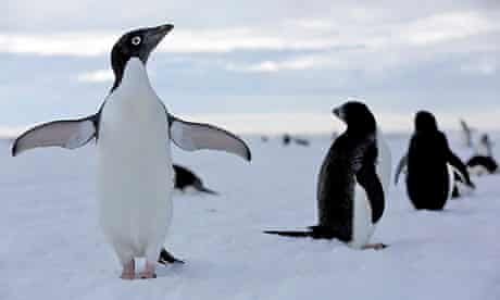Antarctica Live: an Adelie penguin spreads its wings