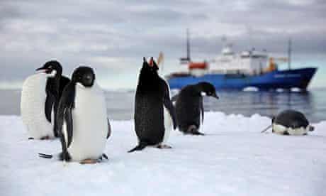 Antarctica Live: an Adelie penguin calling