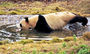 Is apple bobbing is the latest craze at China's zoos. A panda wades into water to retrieve an apple at Changsha Ecological Zoo, Changsha city, China. Despite being wary of water, and notwithstanding the icy cold temperature, this giant panda was so tempted that it overcame all its reservations and waded into the water to retrieve the apple.