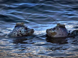 Hilarious animals: A pair of harbour seals wearing satellite- linked transmitters on their hea