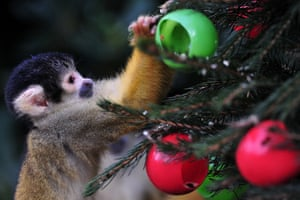 A squirrel monkey eats from christmas tree baubles filled with silkworms and crickets during at London Zoo, UK.