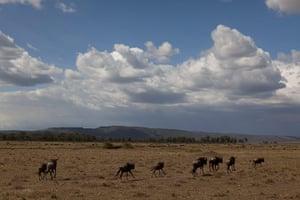 2013 extreme weather: Wildebeest run across a plain in the Maasai Mara Game Reserve in Kenya