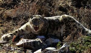 Week in wildlife: snow leopard in Nepal
