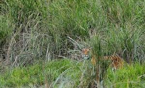Week in wildlife: Tiger in Kaziranga National Park, Assam, India