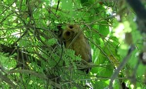 Week in wildlife: Philippine scops owls