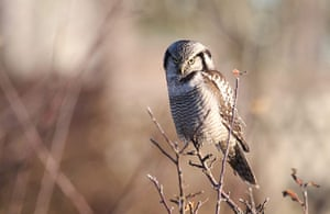 Week in Wildlife: Hawk owls spotted in upper Saxony
