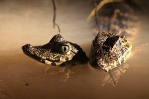 Week in Wildlife: Two little crocodiles in the Cuaiba river