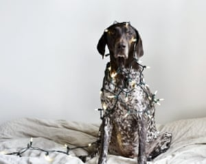 A pointer dog