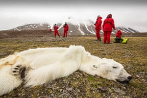 Wildlife Photography 2013: A male Polar Bear (Ursus maritimus) starved to death