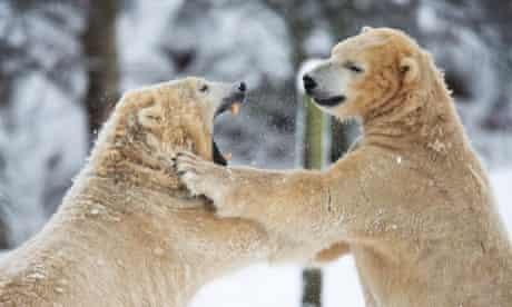 Polar bears play in the freshly fallen snow at Highland Wild Life Park in Scotland