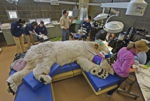 Sleeping giant polar bear